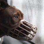 Accepting a muzzle can take time from both owner and dog.