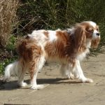 ...to this in 8 months due to heart failure. Coco was euthanased age 7.